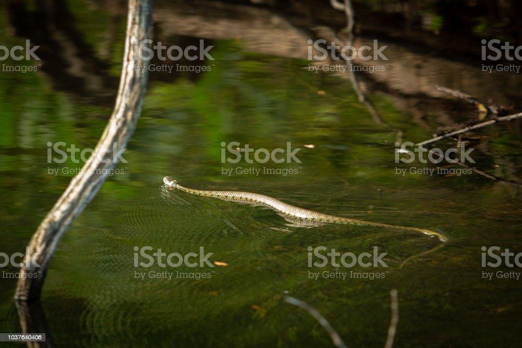 Large Grass snake swimming accross a lake. stock photo