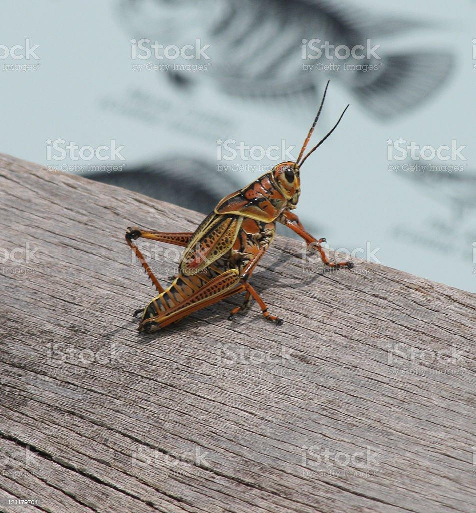 Large Grasshopper royalty-free stock photo