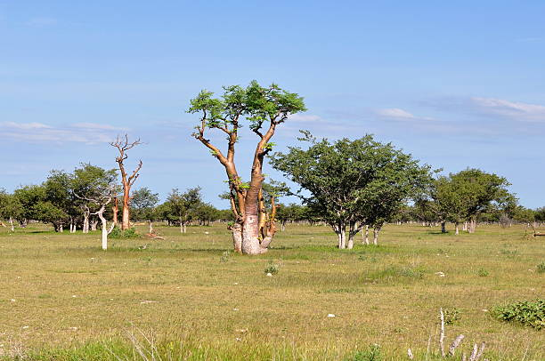 A large grassy field with unusual looking moringa trees stock photo