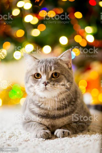 Large gray cat without breed near the christmas tree with garlands picture id1039862172?b=1&k=6&m=1039862172&s=612x612&h=5dunqboskdzrcxx0aie2ym9b3qmaf3uhw7hv6nnovi8=