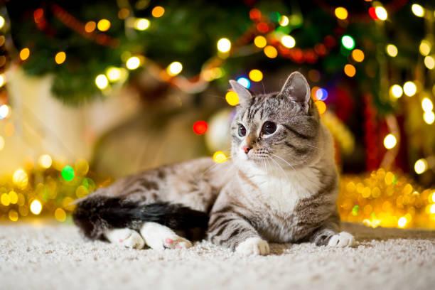 große graue katze ohne rasse mit blauen augen in der nähe der weihnachtsbaum mit girlanden - katze weihnachten stock-fotos und bilder