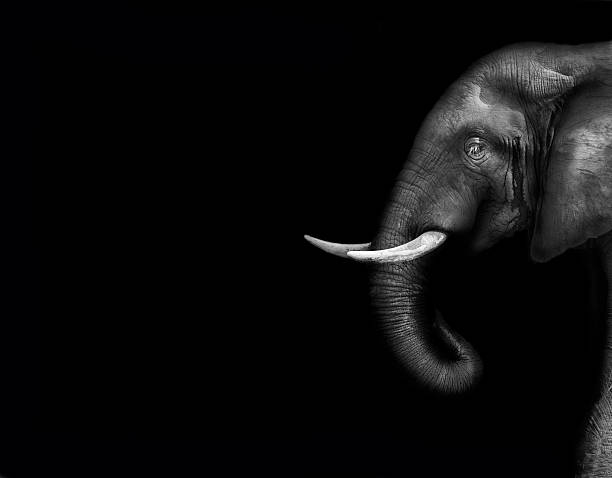 A large gray elephant on a white background stock photo