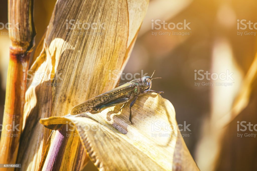 Large, gray-green specimen locust sits on a dry piece of corn in the field. stock photo
