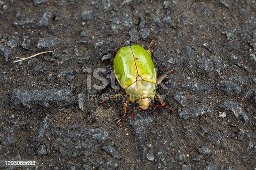 Green beetle with metallic shell