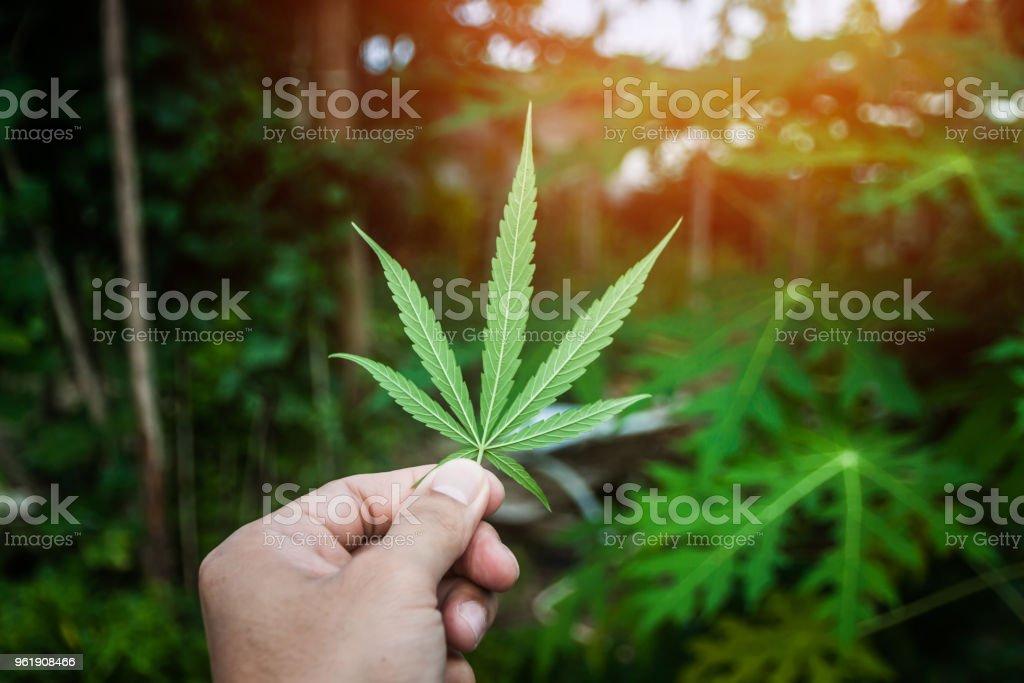 Eine große grüne Blüte Knospe auf eine Marihuanapflanze. Marihuana-Pflanze in Blüte wachsen im Freien. Medizinisches Marihuana mit Marihuana Knospe. – Foto