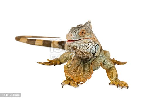 Large Green Iguana in front of white background