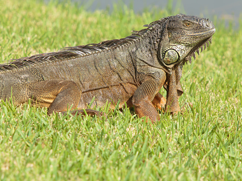 Large Green Iguana Stock Photo - Download Image Now