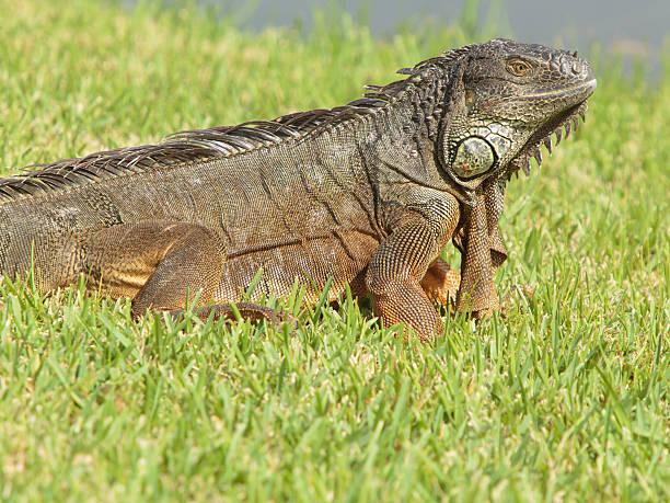 Large Green Iguana stock photo