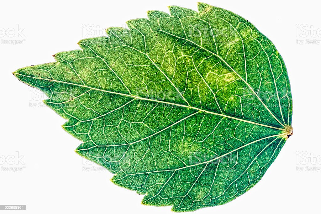 large green leaf stock photo