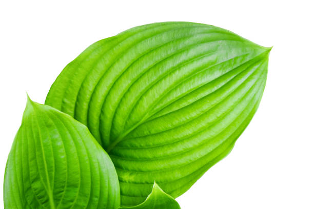 large green leaves on white isolated background stock photo