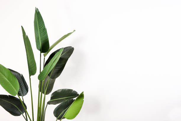 large green leaves on white isolated background - flora imagens e fotografias de stock