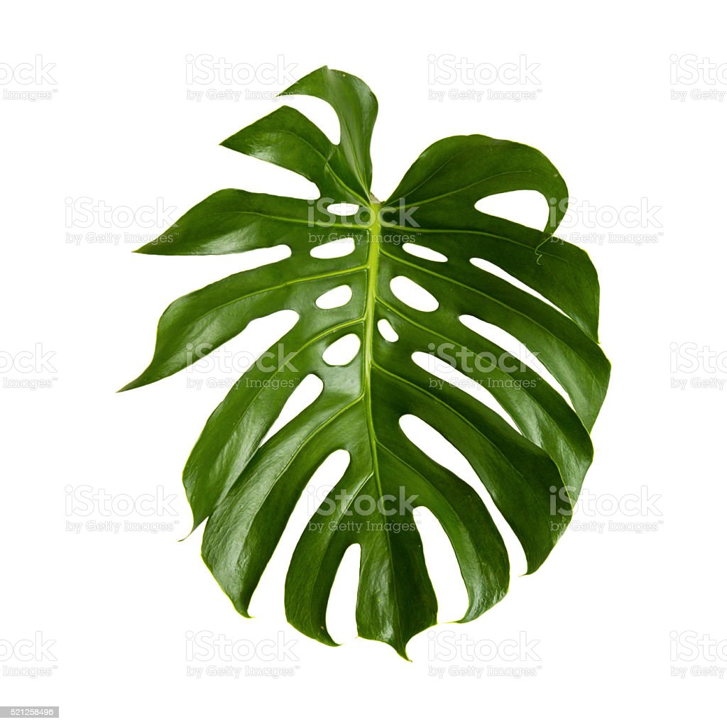 large green shiny leaf of monstera stock photo