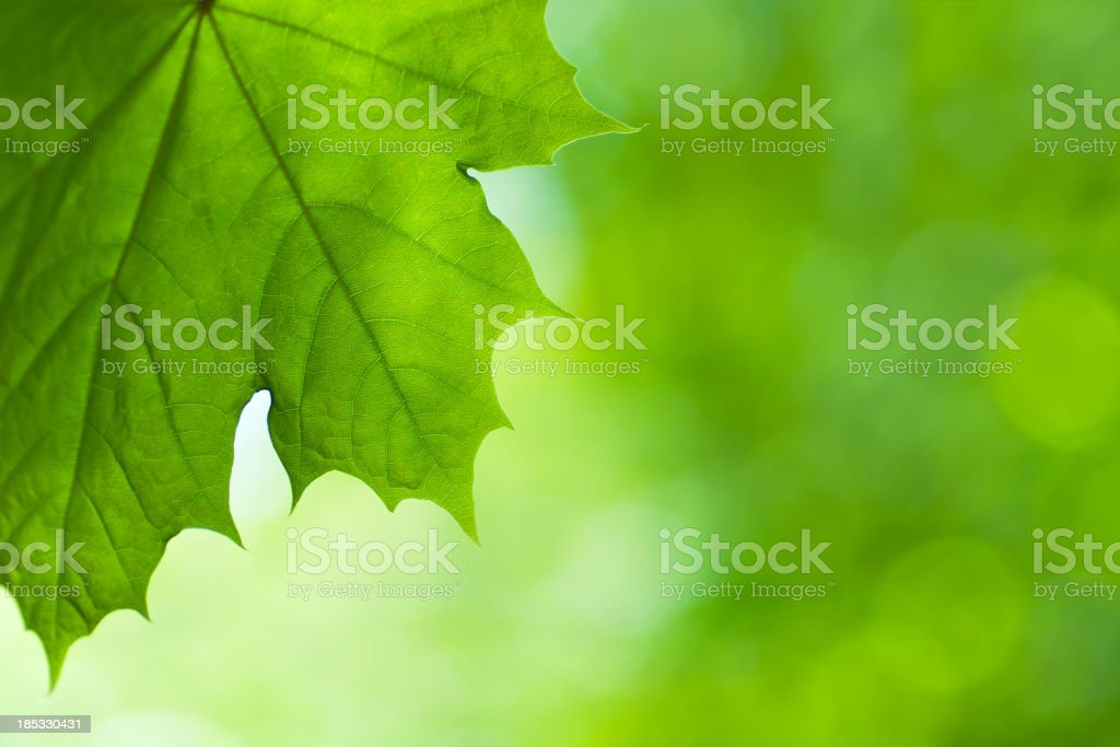 Large Green Spring Maple Leaf royalty-free stock photo