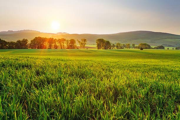 Campo de trigo verde - foto de stock