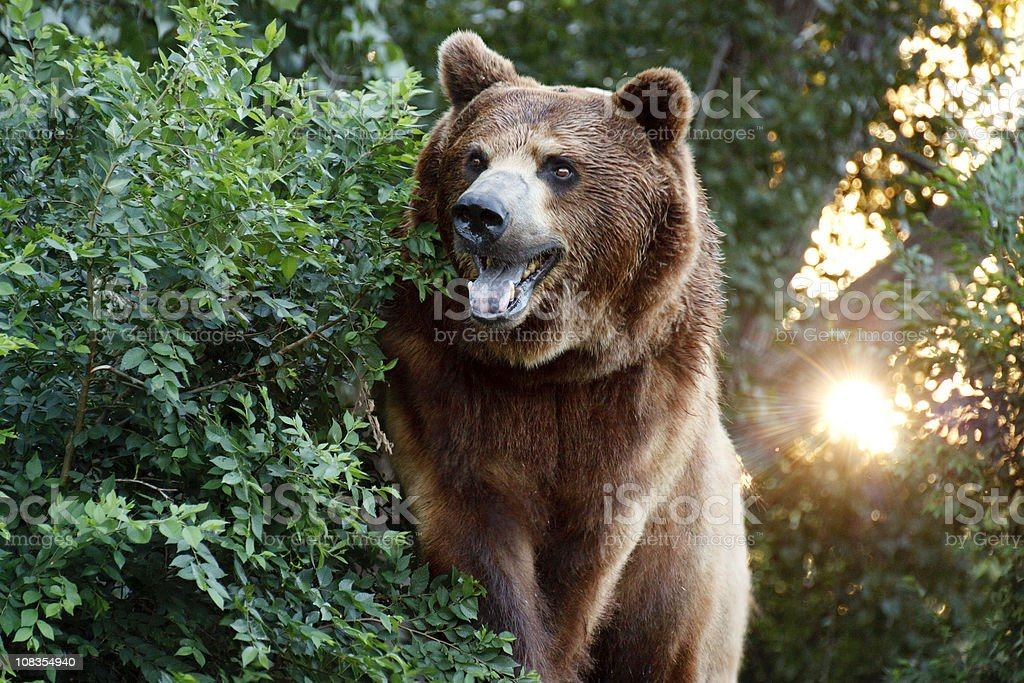 Large Grizzly Bear with setting Sun and Heavy Foilage stock photo