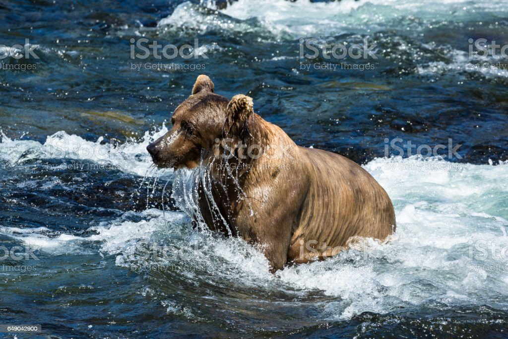 Large grizzly dripping wet after trying to catch salmon from river stock photo
