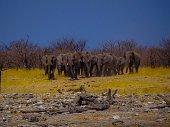 Eine grosse Grouppe Afrikanischer Elefanten in der Savanne des Etoscha National Park in Namibia
