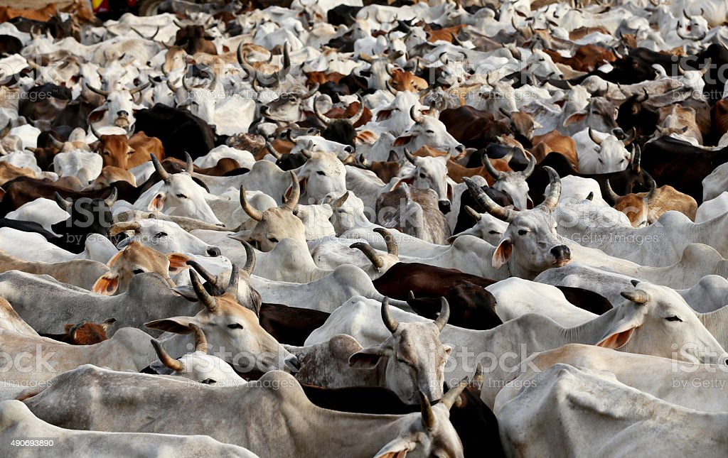 Large Group Of Cows