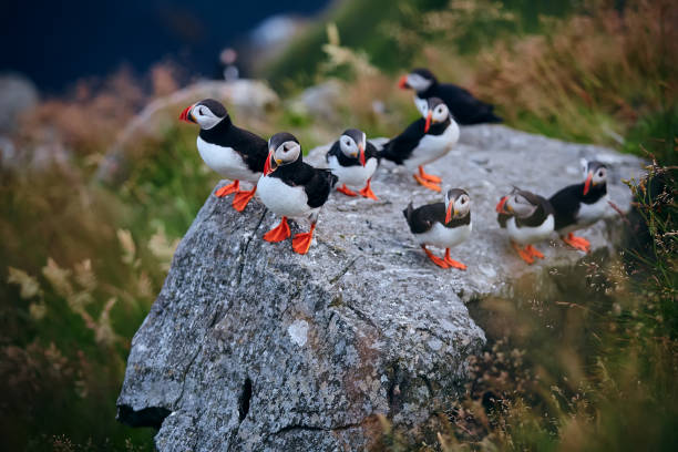 Large group of Atlantic puffin (Fratercula arctica) on the island of Runde in the Norway. Beautiful little bird with red bill of bird. Wild scene with arctic animals. stock photo