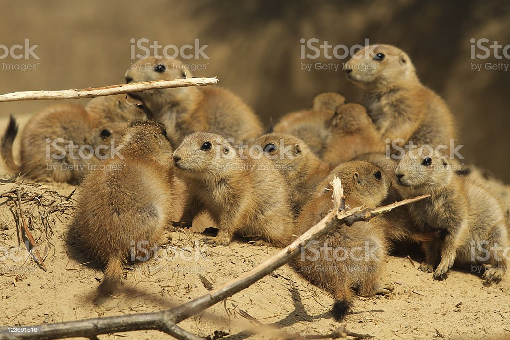 Large group of baby prairie dogs royalty-free stock photo