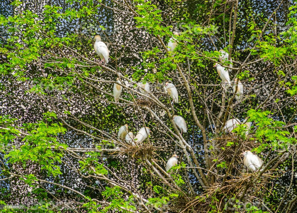 large group of cattle egrets with nests in a tree, birds nesting in a...