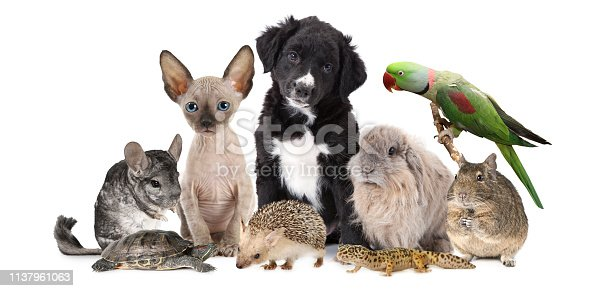 A large group of different animals isolated on a white background, which includes puppy dog, kitten, chinchilla, degu, hedgehog, parrot, rabbit and lizard.