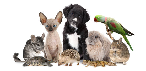 Large group of different animals A large group of different animals isolated on a white background, which includes puppy dog, kitten, chinchilla, degu, hedgehog, parrot, rabbit and lizard. domestic animals stock pictures, royalty-free photos & images