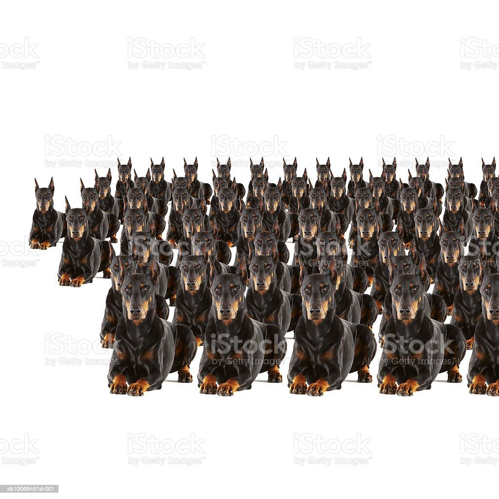 Large group of Dobermans on white background (Digital Composite) royalty-free stock photo