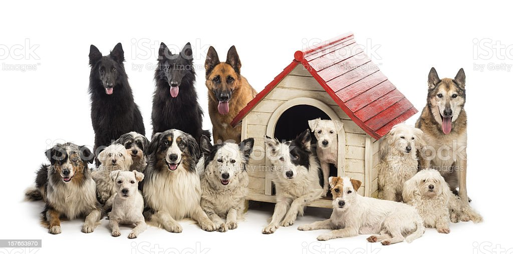 Large group of dogs in and surrounding a kennel stock photo