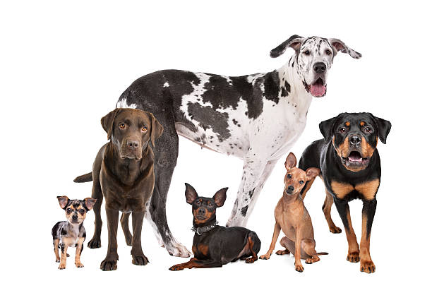 grand groupe de chiens - chihuahua chien de race photos et images de collection