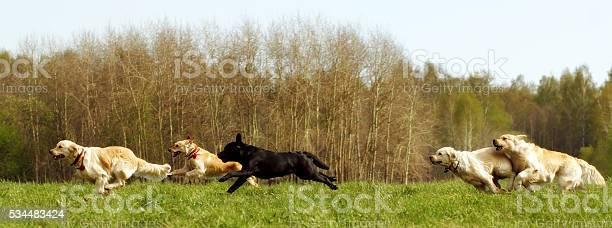 Large group of dogs retrievers running picture id534483424?b=1&k=6&m=534483424&s=612x612&h=vbsi7fnxmxxbv1w4 a9ti so96ucgaywfzi180h0t3w=