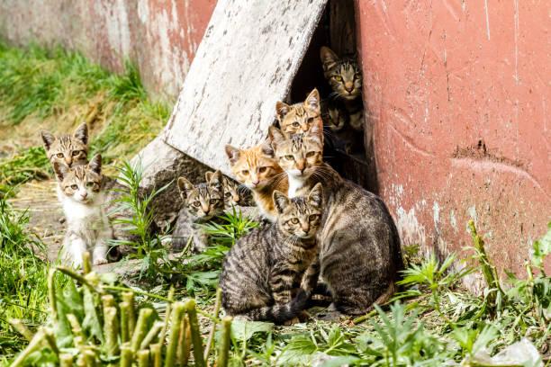 Large group of homeless kittens in a city street near the house picture id1014239248?b=1&k=6&m=1014239248&s=612x612&w=0&h=s3n4bumtss 34hgtjp8uviktl3hwv2mpc2v3xv gwks=