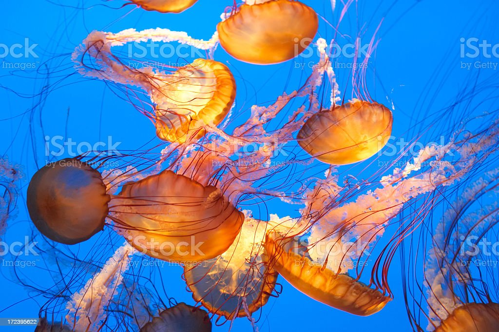 Large group of jellyfish in the blue sea stock photo