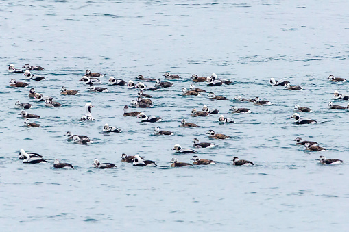 This large group of Long-tails was gathering for travel north in late winter
