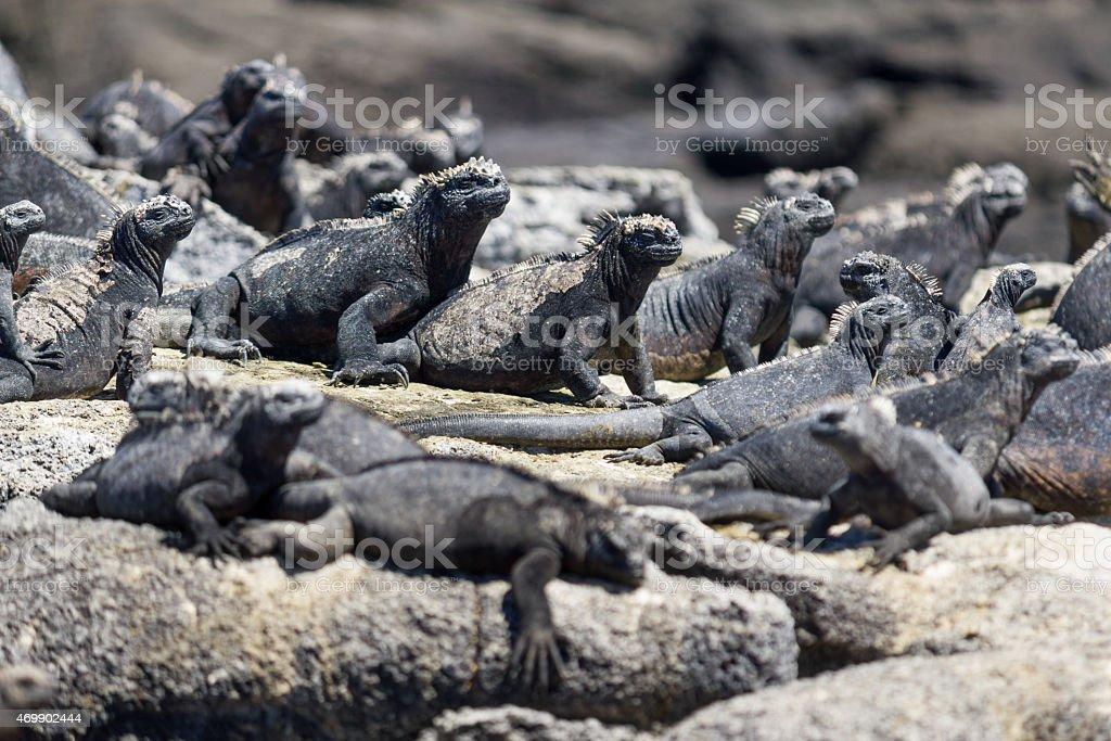 Large group of Marine Iguanas Basking Galapagos Islands stock photo