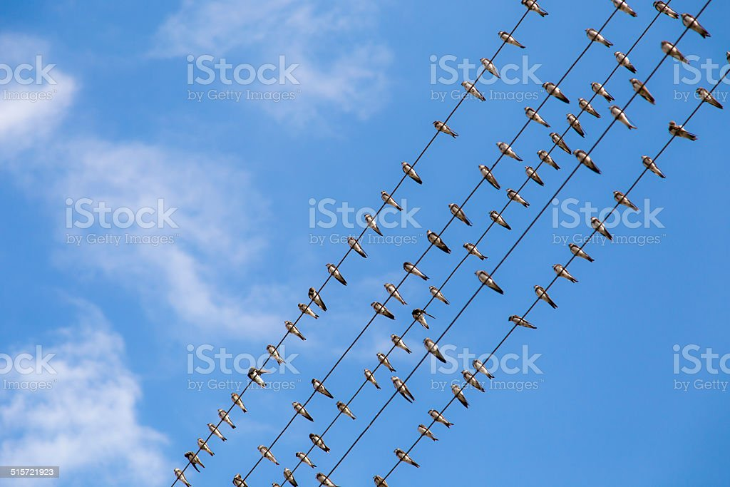 Large group of migrating swallows on wire stock photo