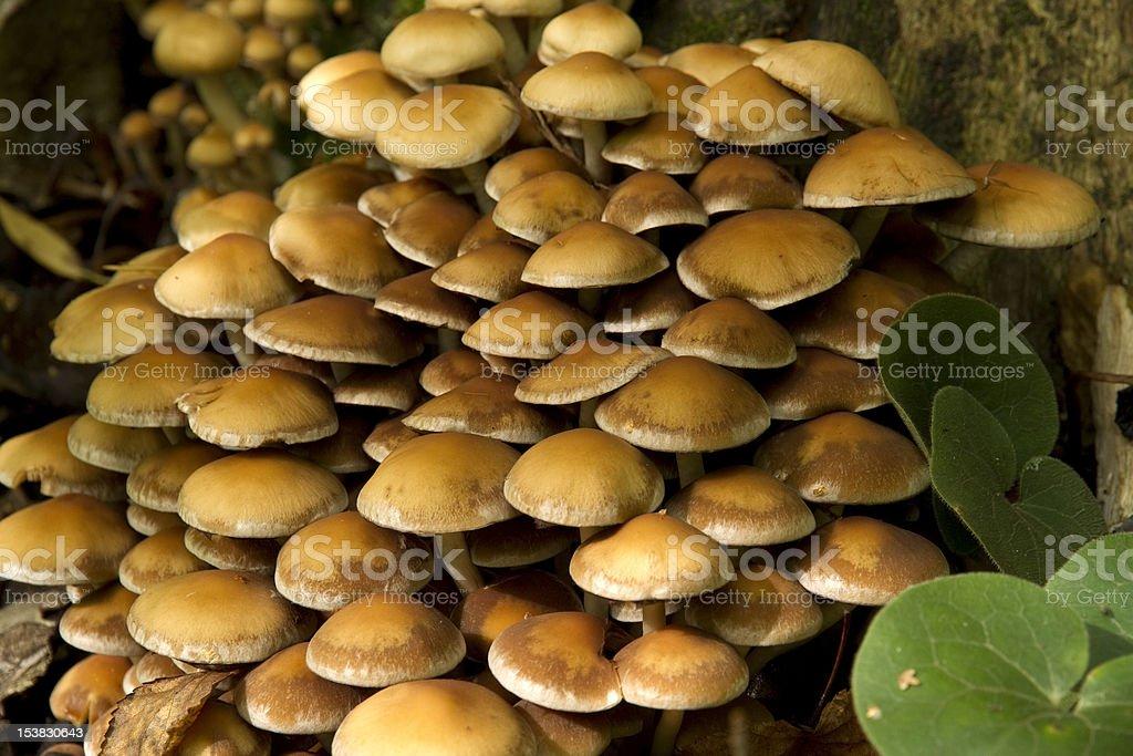 large group of mushrooms royalty-free stock photo