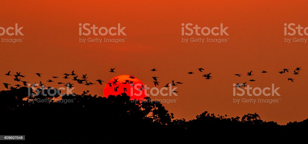Large group of Pied Avocet Flying over the sun stock photo