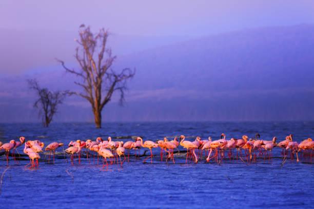Große Gruppe rosa Flamingos im Nakuru-See – Foto