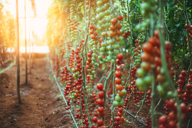 large group of tomatos in greenhouse - tomato field stock photos and pictures