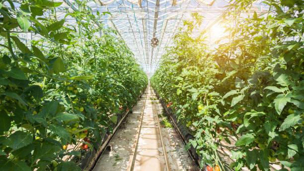 large group of tomatos in greenhouse - оранжерея стоковые фото и изображения