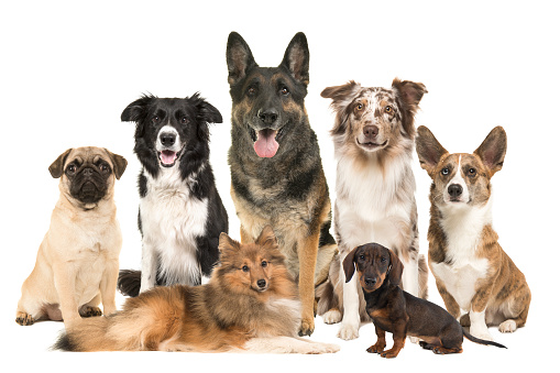 Large group of various breeds of dogs together on a white background
