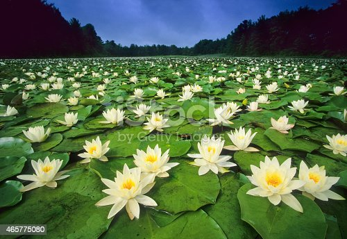 American White Water-lilies, blooming on a summer pond