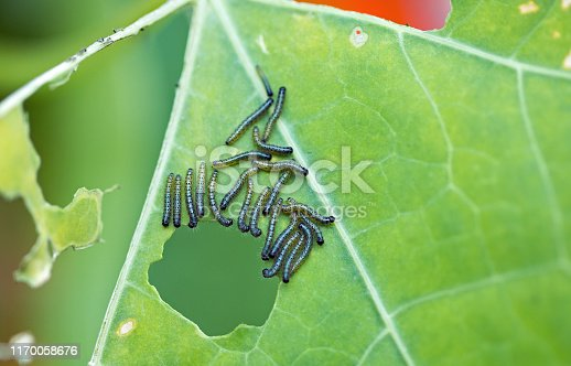 istock A large group of White Cabbage Butterfly caterpillars 1170058676