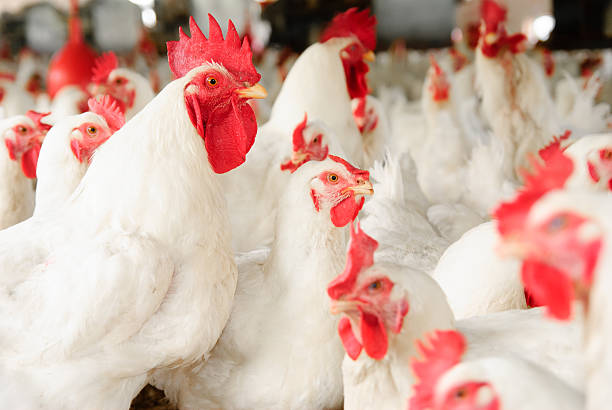 Large group of white chickens with red combs and wattles White broiler chickens in a poultry farm. hen stock pictures, royalty-free photos & images