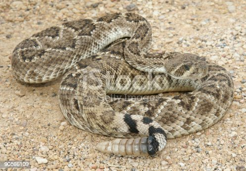 Western Diamondback Rattlesnake (Crotalus atrox)from South West Texas showing its rattle.