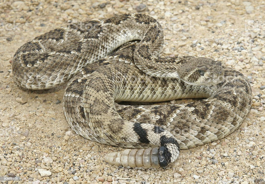 Large grownup rattlesnake on a sand surface stock photo