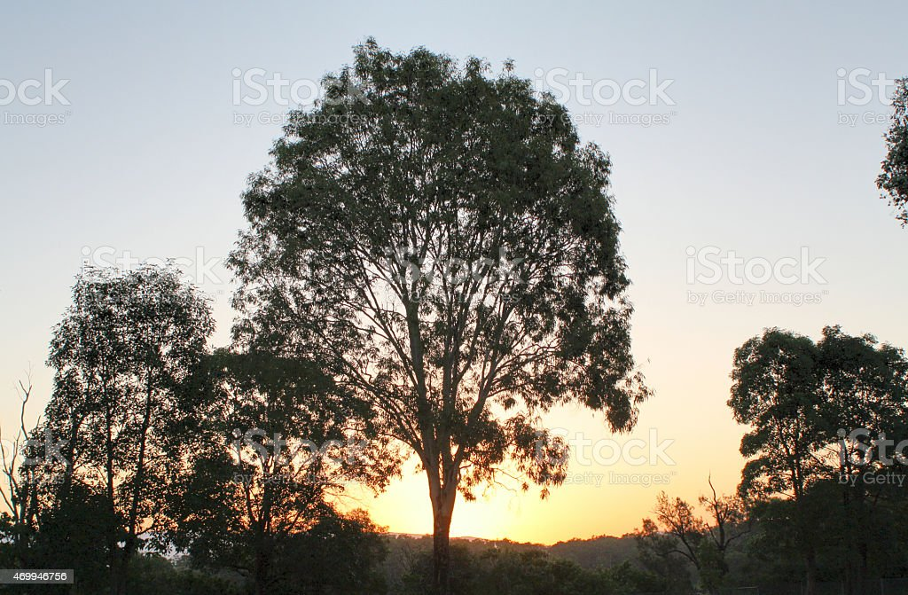 Large Gum (Eucalyptus) Tree with Sun Setting Behind stock photo