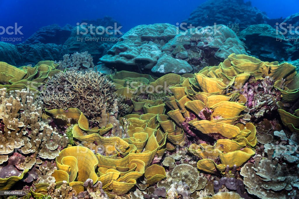 Large healthy lettuce coral covers the reef. stock photo