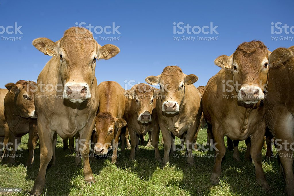 A large heard of cows looking at the camera stock photo
